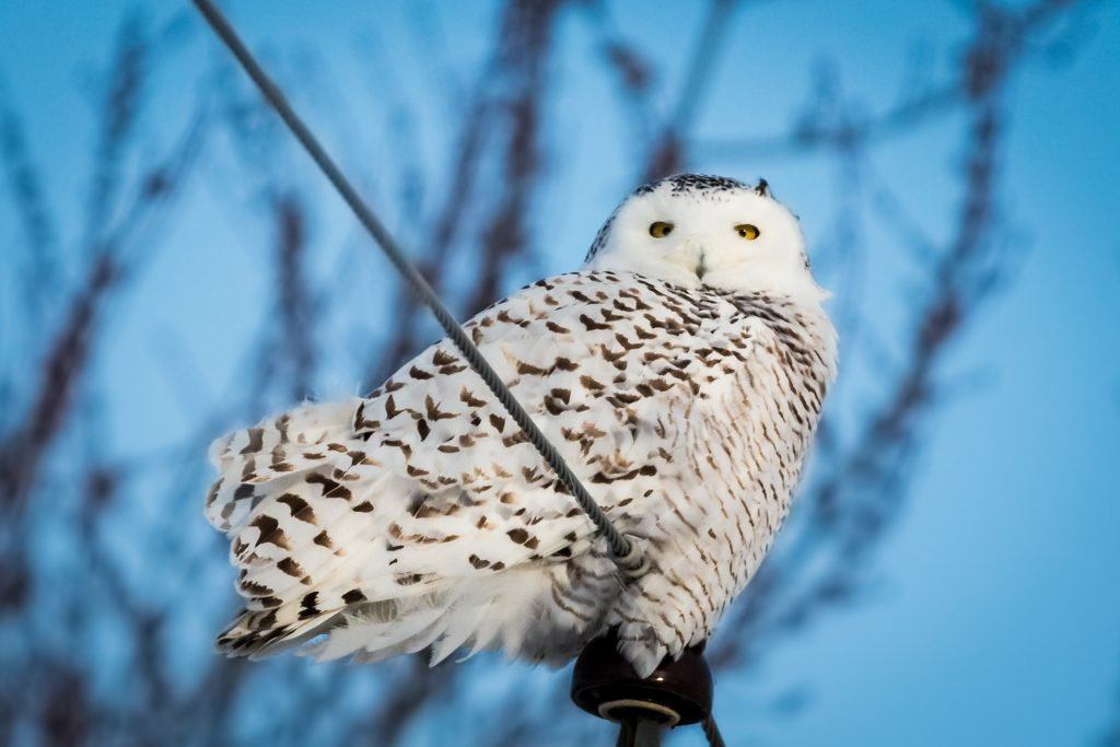 Snowy Owl on hydro pole