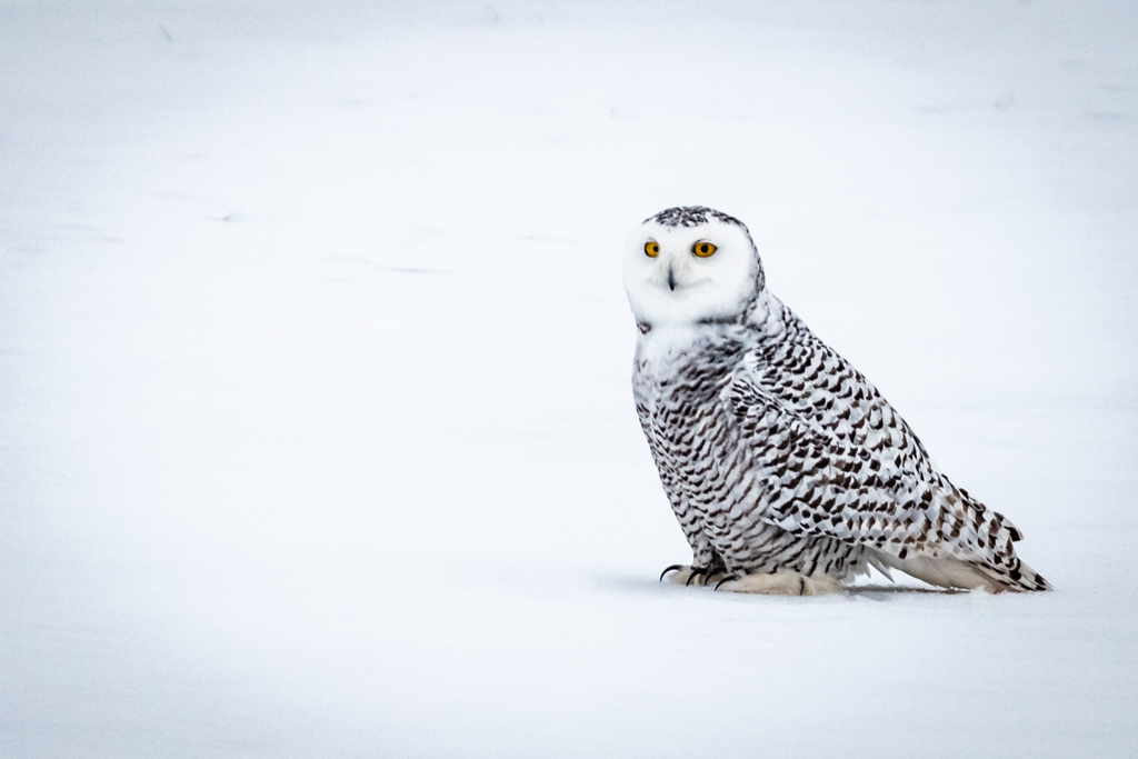 Snowy Owl sitting in the snow